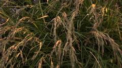 Swaying Wild Grass Stock Footage