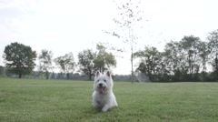 Dog in park running at camera Stock Footage