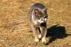 rural cat going for a walk - stock photo