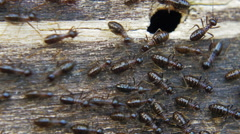 Many black little termites escaping from old colony and crawling on tree - stock footage