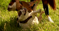 Cute happy english bulldog puppy plaing - stock footage