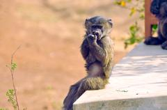 funny monkey - stock photo