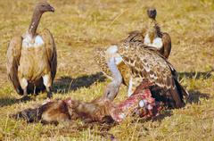 Vultures and their prey Stock Photos