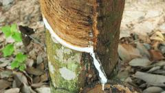 Milky latex extracted from natural rubber tree, Hevea Brasiliensis.Camera tilt. Stock Footage
