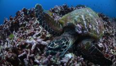 Sea turtle feeding on broken coral Stock Footage