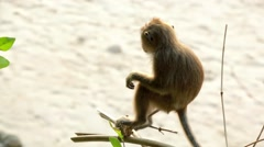 Small monkey in a tree, tourist passing by Stock Footage