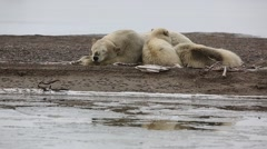 Mother polar bear napping with cubs - stock footage