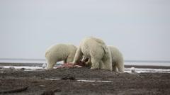 Polar Bears eating whale flesh - stock footage
