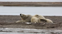 Mother Polar Bear sniffing and cubs napping - stock footage