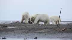 Polar Bear being left out while others eat whale flesh Stock Footage