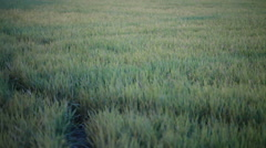 green rice field and windy flow in HD, take paning shot - stock footage