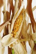 Dried corn and stalks - stock photo