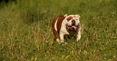 crazy english bulldog running - stock footage