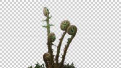 Fern unrolling new fronds, with ALPHA channel Stock Footage