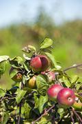 apple-tree garden - stock photo