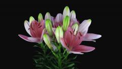Growing, opening and rotating pink lily in RGB + ALPHA matte format Stock Footage