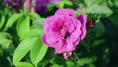Flower of wild rose. Bumblebee collects nectar. Nature. Flora. Stock Footage