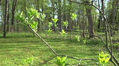 First spring buds leaves on lilac tree branch twig. 4K Stock Footage