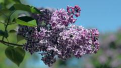 Flower Lilac blossoms in spring time. Nature. Floral. Stock Footage