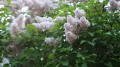 Lilac flowers on green branch early summer Stock Footage