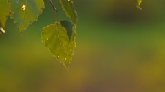Isolated birch leaf in evening light, shallow depth of field Stock Footage