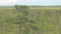 Stock Video Footage of Isolated pine tree in marshland on a windy day