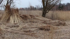 Reed on the field, cut and tied in bundles. Used in the construction industry Stock Footage