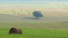 Cow pasture under a tree in hot summer haze, hay rolls on the field Stock Footage