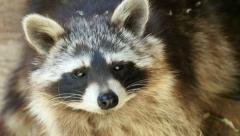 Stock Video Footage of North american raccoon (Procyon lotor) extreme closeup