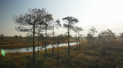 Fly-by shot through marshland pine forest and ponds in early summer morning Stock Footage