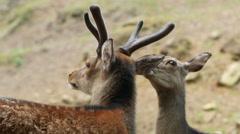 Couple of red deers pair grooming closeup 4K UHD Stock Footage