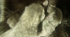 Black cat milk feeding six newborn kittens close-up shooting Stock Footage