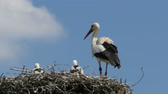 Young storks and adult stork in nest 4K UHD Stock Footage