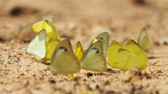 Pieridae Appias albina yellow butterflies are eat mineral. - stock footage