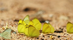Pieridae Gandaca harina yellow butterflies are eat mineral. - stock footage