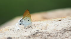 Lycaenidae Hypolycaena amasa butterflies are eat mineral. Stock Footage