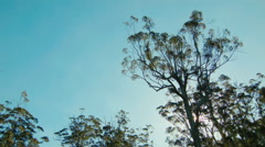 Silhouetted Karri Trees in Western Australia Stock Footage