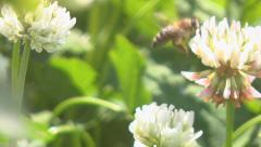 Bees collect nectar from clover Stock Footage