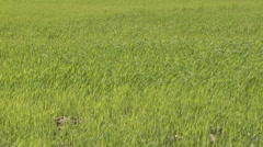 The wind in the grass Stock Footage