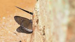 Euploea radhamantus black butterflies are eat mineral. Stock Footage