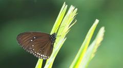 Euploea radhamantus black butterflies are eat mineral on green leaves. Stock Footage