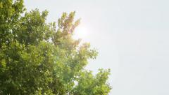 Maple tree seen from below Stock Footage