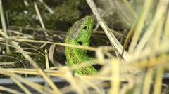 Common sand lizard, Lacerta agilis Stock Footage