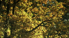 A golden yellow tree in an autumn breeze - Autumn Gold 004 HD Stock Footage