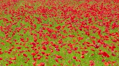 flowers meadow of red poppies field in windy day - stock footage