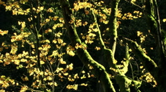 Stock Video Footage of Golden yellow leaves on a mossy tree - Autumn Gold 011 HD