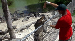 Feeding of American alligators in the Everglades Alligator Farm. Stock Footage