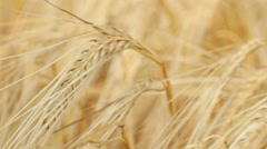 Close-up of a single ripe wheat straw waving in wind Stock Footage