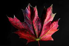 Maple leaf in autumn colors - stock photo