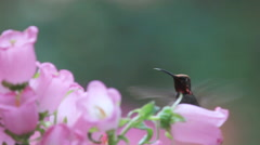 Pink Canterbury bells with hummingbird Stock Footage